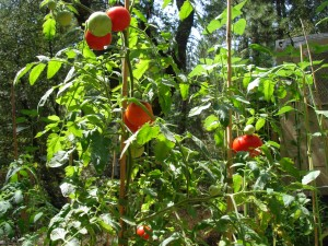 Garden Tomatos